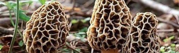 Idaho Real Estate Agent Loves Morels