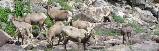 Bighorn Sheep Idaho